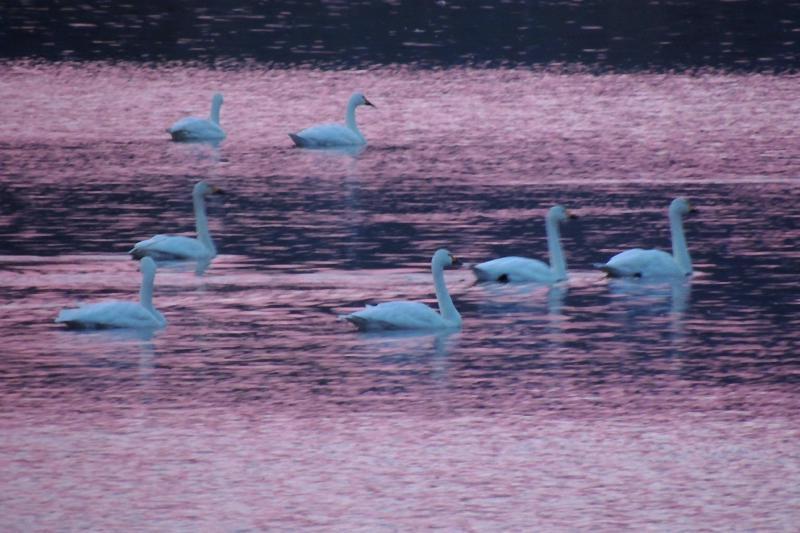 古いコンデジで撮った白鳥(前編)_e0403850_20434808.jpg
