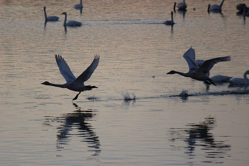 古いコンデジで撮った白鳥(後編)_e0403850_20502855.jpg