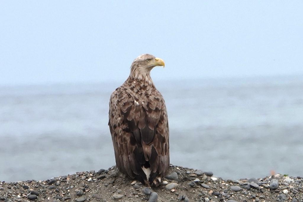 野鳥トレ219 北海道探鳥地放浪の旅 その3_b0227552_12315459.jpg