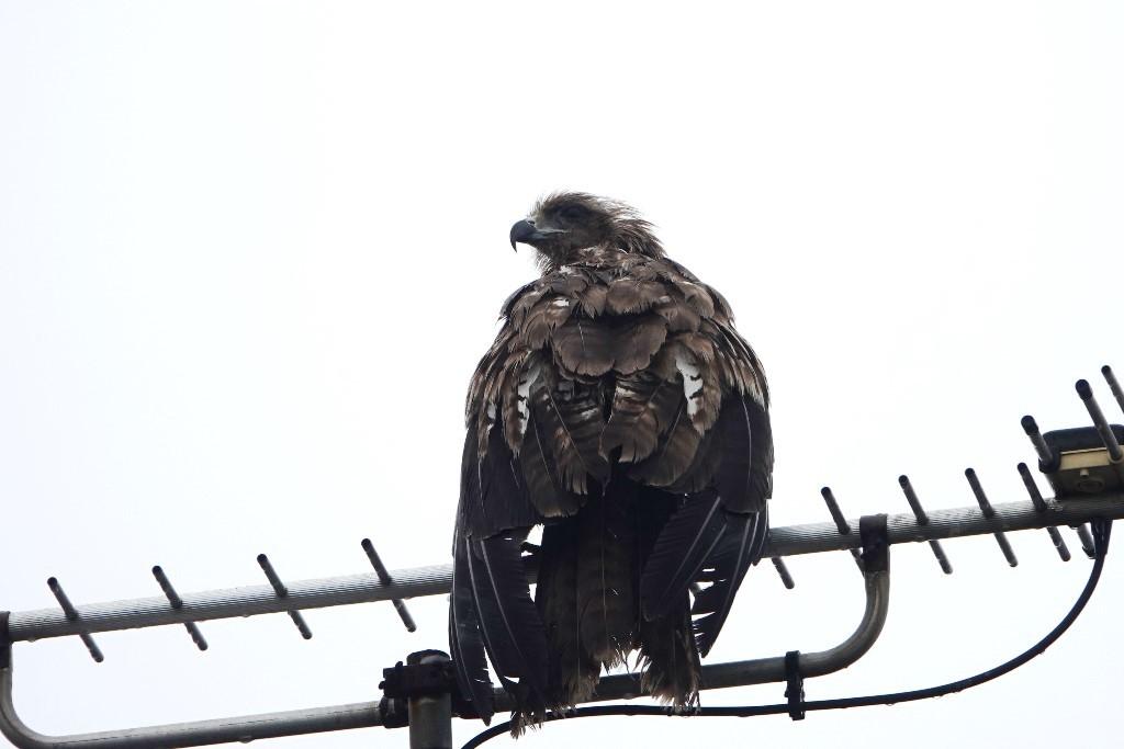 野鳥トレ219 北海道探鳥地放浪の旅 その3_b0227552_12315495.jpg