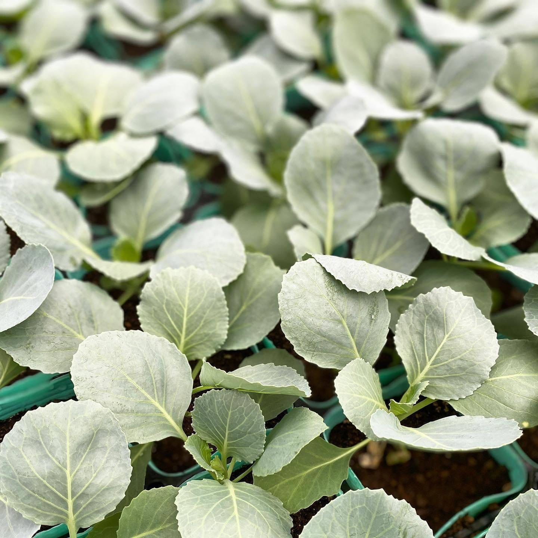 秋植え野菜苗_f0220152_13585358.jpg
