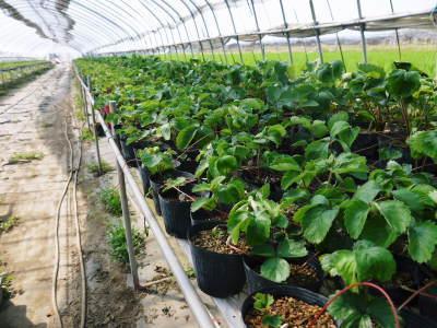 完熟紅ほっぺ 育苗(苗床の様子)と安心・安全なイチゴを育てるための農薬を使わない消毒の話_a0254656_14264566.jpg