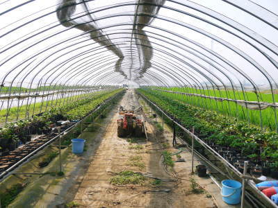 完熟紅ほっぺ 育苗(苗床の様子)と安心・安全なイチゴを育てるための農薬を使わない消毒の話_a0254656_14272369.jpg