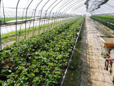 完熟紅ほっぺ 育苗(苗床の様子)と安心・安全なイチゴを育てるための農薬を使わない消毒の話_a0254656_14275377.jpg
