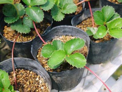 完熟紅ほっぺ 育苗(苗床の様子)と安心・安全なイチゴを育てるための農薬を使わない消毒の話_a0254656_14323997.jpg