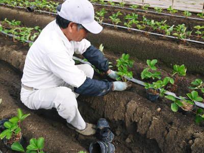 完熟紅ほっぺ 育苗(苗床の様子)と安心・安全なイチゴを育てるための農薬を使わない消毒の話_a0254656_16221976.jpg