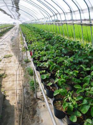 完熟紅ほっぺ 育苗(苗床の様子)と安心・安全なイチゴを育てるための農薬を使わない消毒の話_a0254656_16314282.jpg