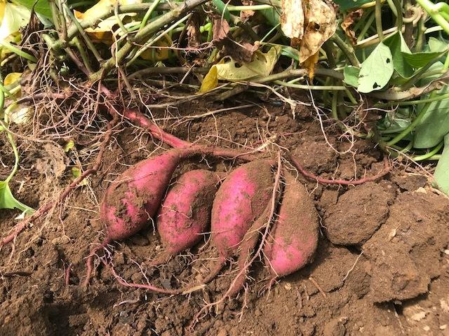 サツマイモ試し掘り、両親の遺影の前にお供え8・13_c0014967_16081200.jpg