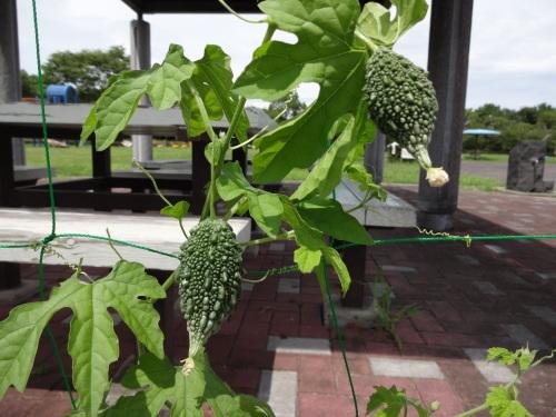緑のカーテン(ゴーヤ)栽培実験R2.8.13_d0338682_14074878.jpg