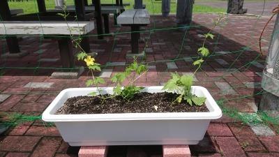 緑のカーテン(ゴーヤ)栽培実験R2.8.13_d0338682_14384730.jpg
