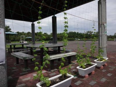 緑のカーテン(ゴーヤ)栽培実験R2.8.13_d0338682_14433994.jpg
