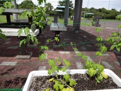 緑のカーテン(ゴーヤ)栽培実験R2.8.13_d0338682_14453634.jpg