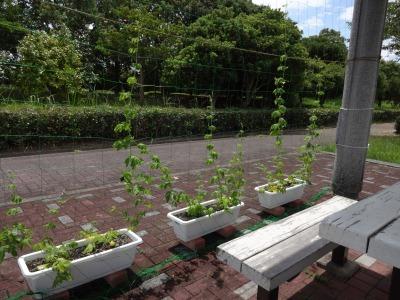 緑のカーテン(ゴーヤ)栽培実験R2.8.13_d0338682_15003378.jpg