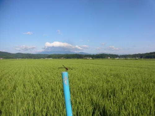 8月11日の田んぼの様子(目黒角田絆交流事業)_d0247484_10533036.jpg