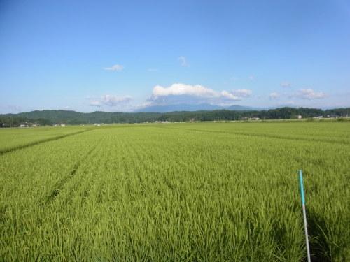 8月11日の田んぼの様子(目黒角田絆交流事業)_d0247484_10533157.jpg
