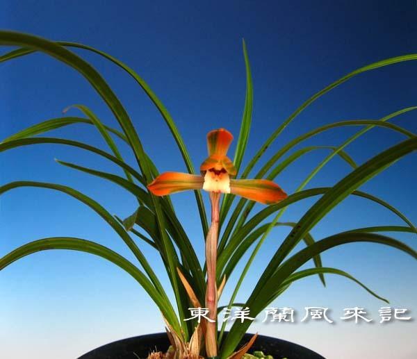 日本春蘭「大虹」            No.570_f0178953_00582377.jpg
