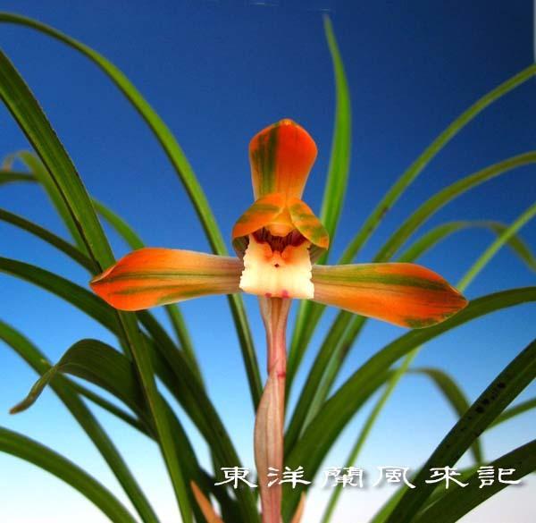 日本春蘭「大虹」            No.570_f0178953_00584491.jpg