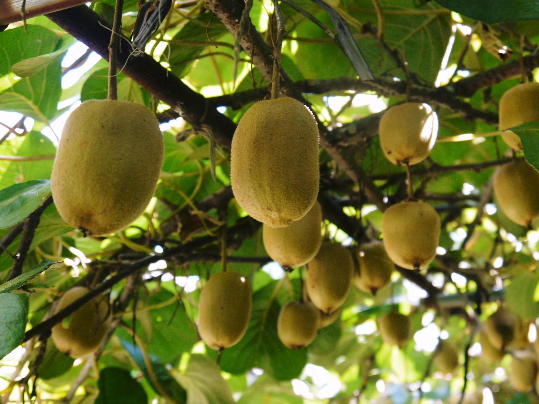 水源キウイ 11月中旬からの収穫に向け、しっかりと手をかけ育てます!キウイフルーツは冬の果物です!_a0254656_18163837.jpg