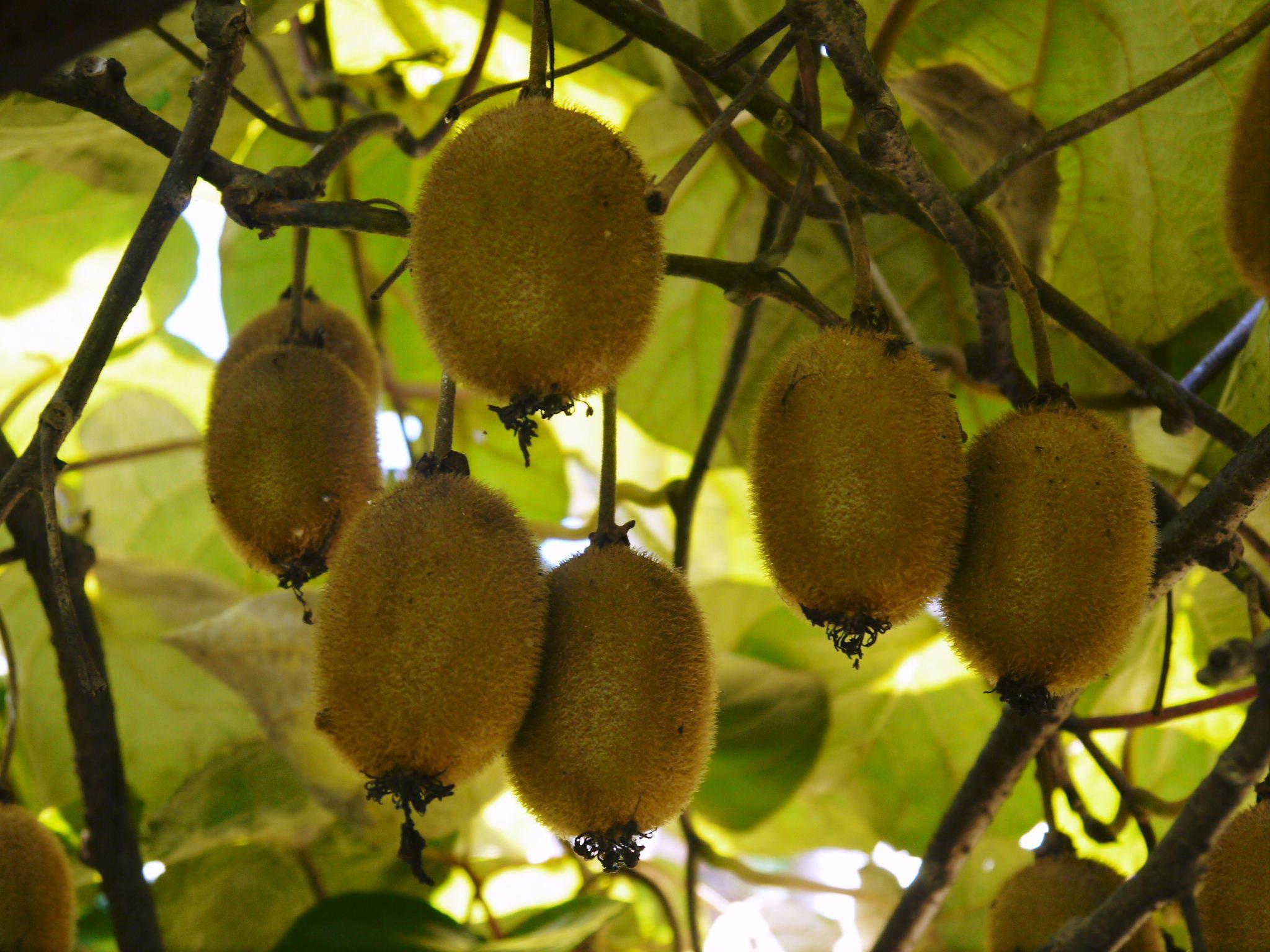 水源キウイ 11月中旬からの収穫に向け、しっかりと手をかけ育てます!キウイフルーツは冬の果物です!_a0254656_18245766.jpg