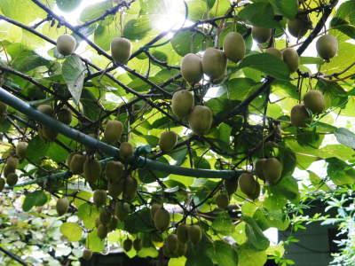 水源キウイ 11月中旬からの収穫に向け、しっかりと手をかけ育てます!キウイフルーツは冬の果物です!_a0254656_18383595.jpg