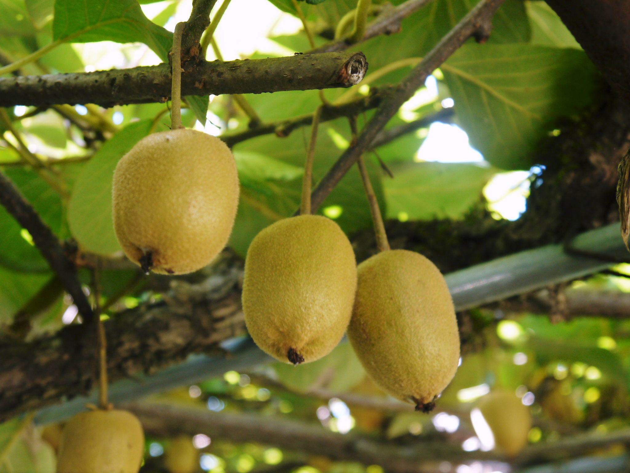 水源キウイ 11月中旬からの収穫に向け、しっかりと手をかけ育てます!キウイフルーツは冬の果物です!_a0254656_18501345.jpg