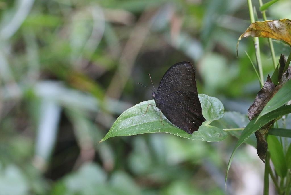 クロコノマチョウの生態観察_e0224357_08493774.jpg