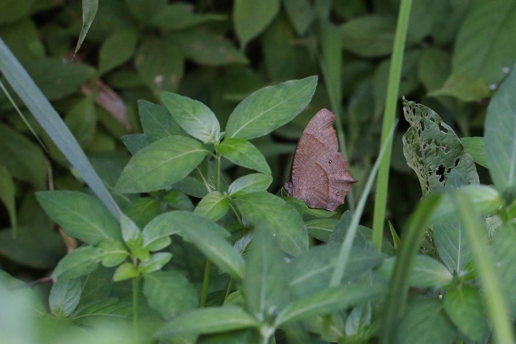 クロコノマチョウの生態観察_e0224357_08500958.jpg