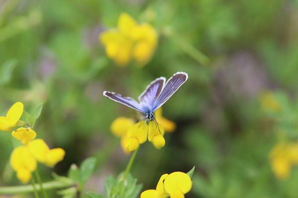 「初夏の蝶」(補遺2)_b0189231_08021070.jpg
