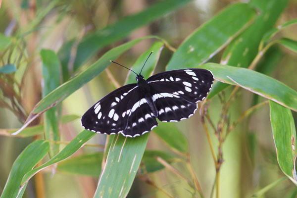 「初夏の蝶」(補遺2)_b0189231_08030135.jpg
