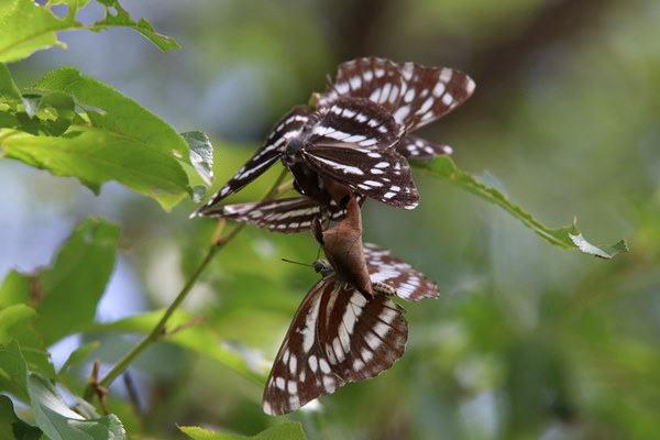 「初夏の蝶」(補遺2)_b0189231_08032389.jpg