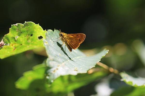 「初夏の蝶」(補遺2)_b0189231_08040121.jpg