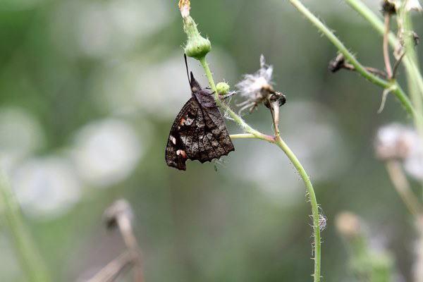 「初夏の蝶」(補遺2)_b0189231_08044360.jpg