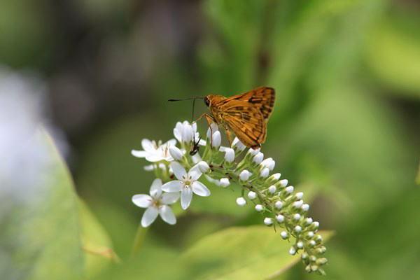 「初夏の蝶」(補遺2)_b0189231_08050169.jpg