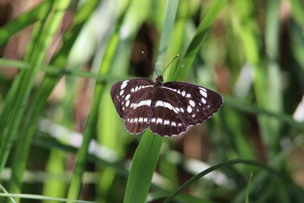 「初夏の蝶」(補遺2)_b0189231_08052211.jpg