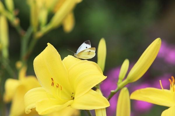 「盛夏の蝶」(7月) 補遺(3部)其の壱_b0189231_18484213.jpg