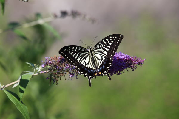 「盛夏の蝶」(7月) 補遺(3部)其の壱_b0189231_18501100.jpg