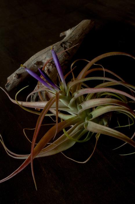 チランジアの花が咲きました。_d0124248_16152461.jpg