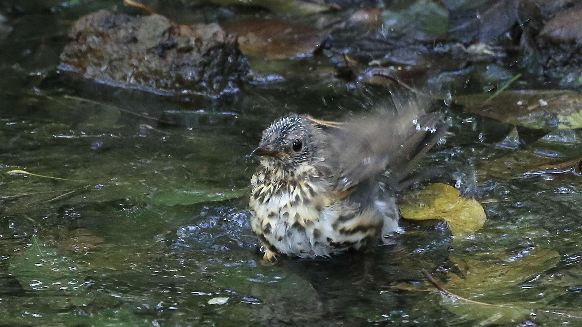 またクロツグミ家族に逢って来ました!涼しげな幼鳥の水浴び_f0105570_21140078.jpg