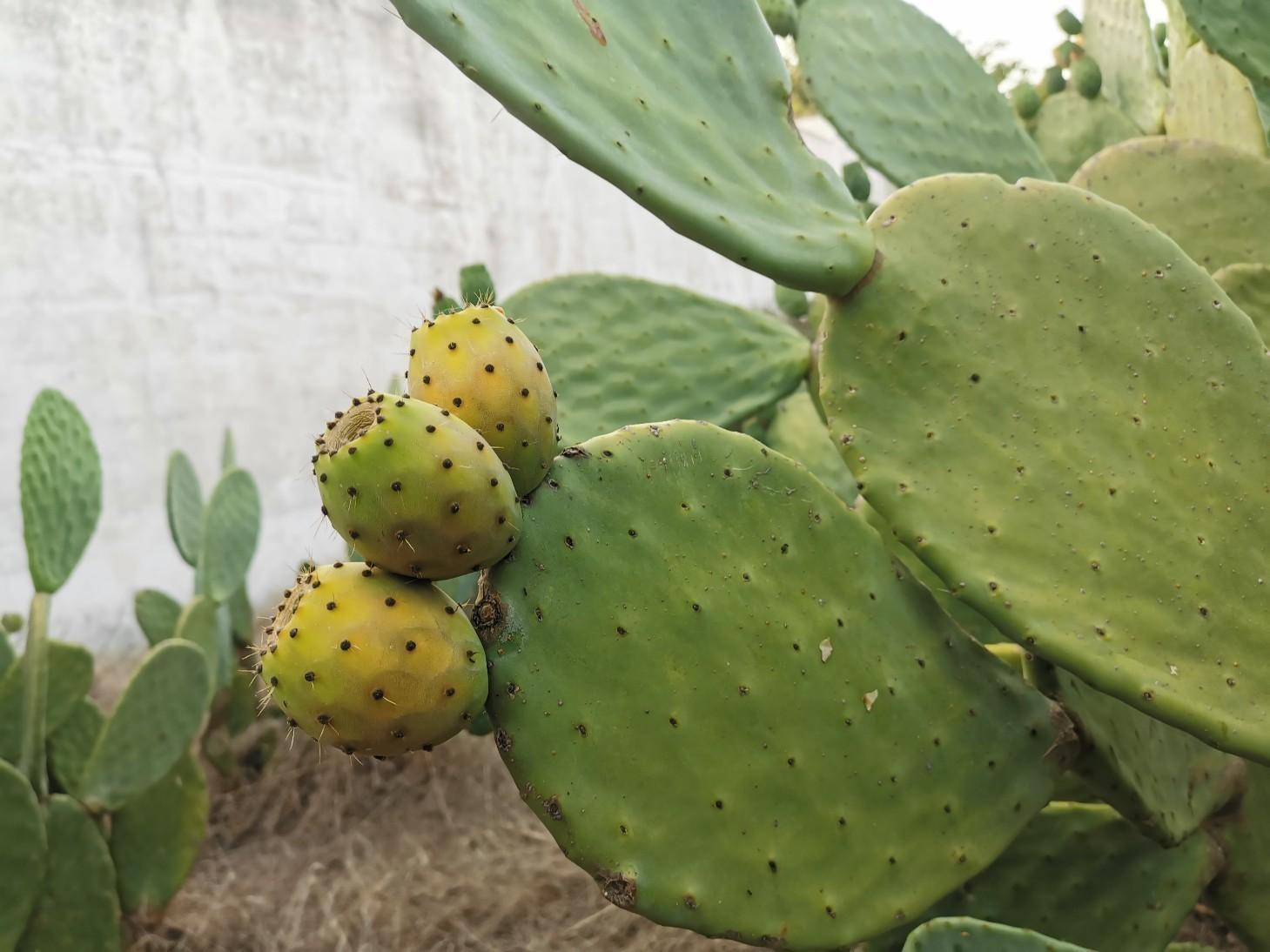 サボテンの実は夏の味〜プーリア滞在記_f0106597_05195304.jpg