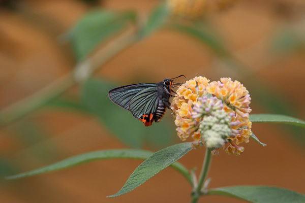 「盛夏の蝶」(7月) 補遺2_b0189231_07182404.jpg