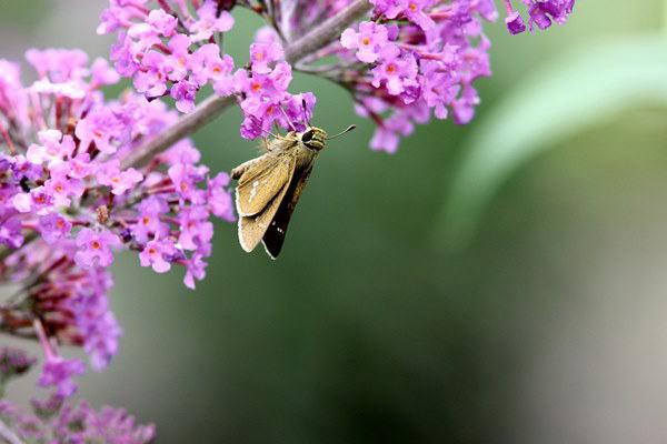 「盛夏の蝶」(7月) 補遺2_b0189231_07184436.jpg