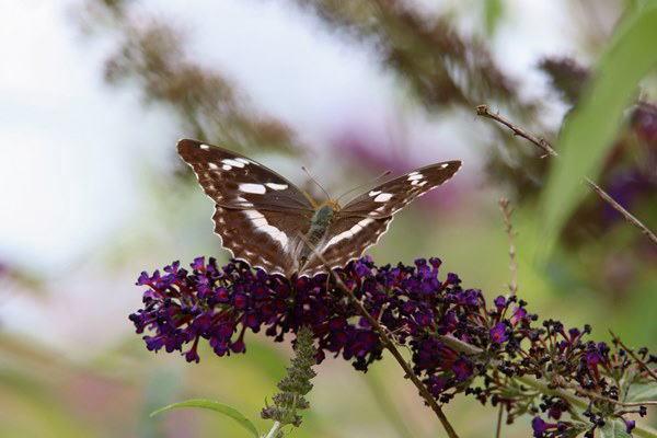 「盛夏の蝶」(7月) 補遺2_b0189231_07192902.jpg