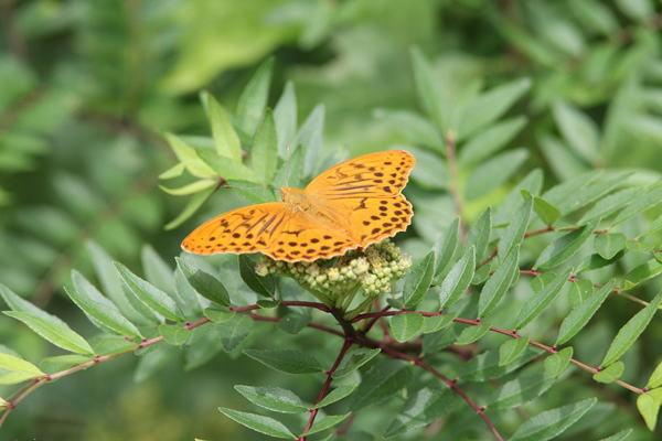 「盛夏の蝶」(7月) 補遺2_b0189231_07195524.jpg