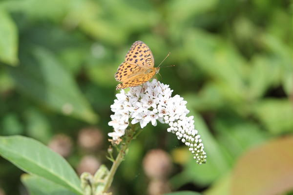 「盛夏の蝶」(7月) 補遺2_b0189231_07202070.jpg