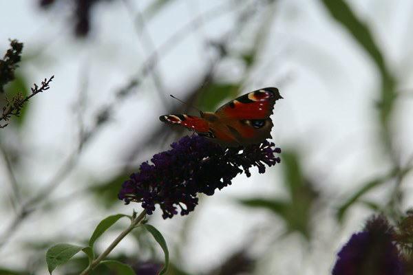 「盛夏の蝶」(7月) 補遺2_b0189231_07210732.jpg