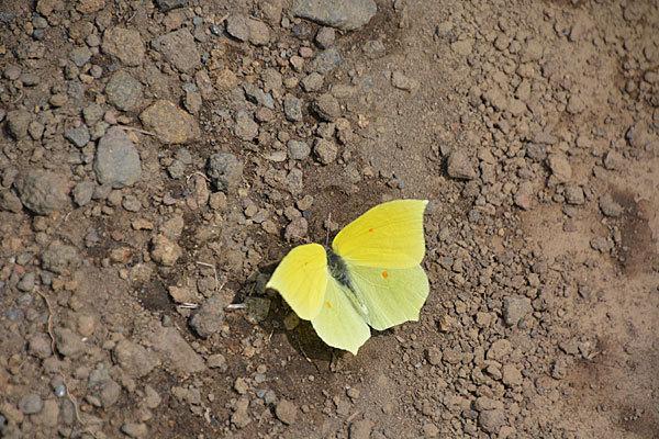 富士山麓盛夏の蝶(2020年8月上旬)_c0049095_21351989.jpg