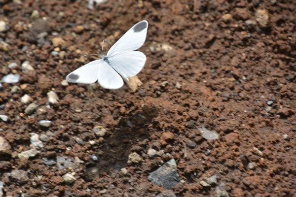 富士山麓盛夏の蝶(2020年8月上旬)_c0049095_21354819.jpg