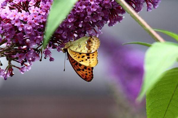 「盛夏の蝶」(7月)・・・・補遺(其の参)_b0189231_21111686.jpg