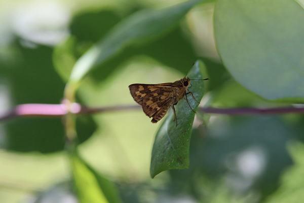 「盛夏の蝶」(7月)・・・・補遺(其の参)_b0189231_21113543.jpg