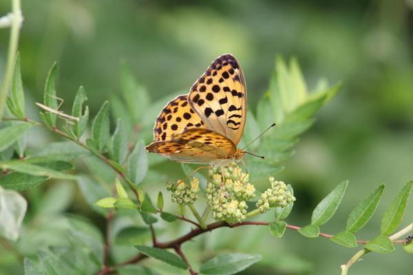 「盛夏の蝶」(7月)・・・・補遺(其の参)_b0189231_21123977.jpg